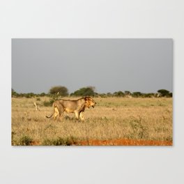 A Lion patrols the plains of Tsavo East, Kenya looking for his next meal Canvas Print