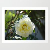 White yellow rose Art Print