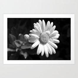 Shasta Daisy Art Print