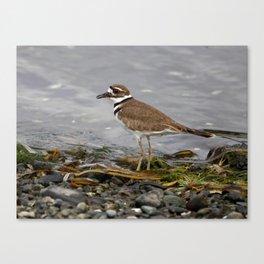 Killdeer along the Shore Canvas Print