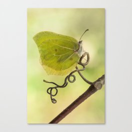 Yellow butterfly on a curly branch Canvas Print