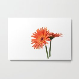 isolated gerbera daisy in the vase Metal Print