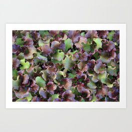Red Leaf Lettuce Art Print