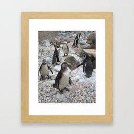 Cool dude - penguins, Colchester Zoo, UK Framed Art Print