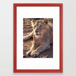Asiatic Lion 3, Gir Forest, Gujrat, India Framed Art Print