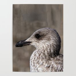 Young Seagull Poster