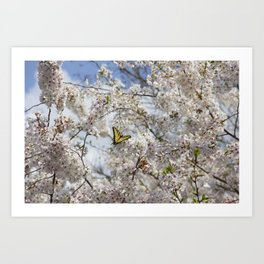Swallowtail Butterfly in Cherry Blossoms Art Print