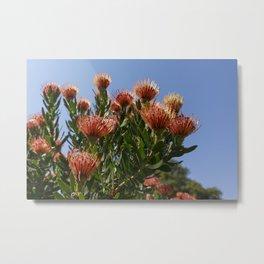 Pincushion Proteas and blue sky Metal Print