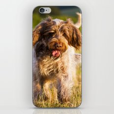 Brown Roan Italian Spinone Dog in Action iPhone & iPod Skin