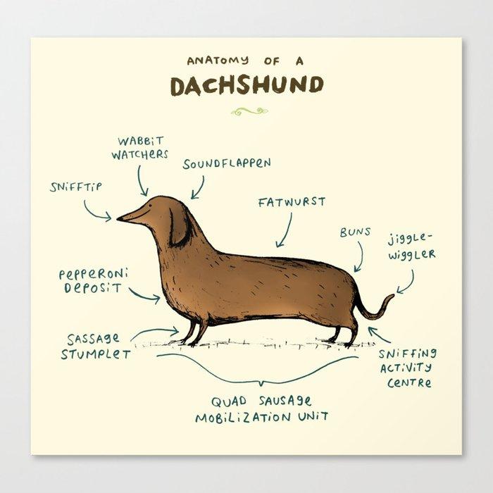Anatomy of a Dachshund Canvas Print
