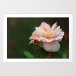 Creme Color Rose with Red Buds Art Print