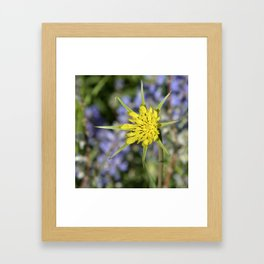 Yellow salsify wildflower against lupine Framed Art Print