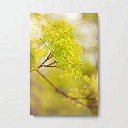 Acer flowering twig detail Metal Print