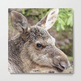 Watercolor Moose Calf 01, Smålandet Moose Safari, Markaryd, Sweden, Gel-moose Metal Print