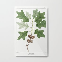 Bears Oak or Quercus Banisteri pl 21 (1819) from The North American Sylva by Franois Andre Michaux Metal Print