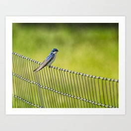 Tree Swallow Sitting on a Fence Art Print