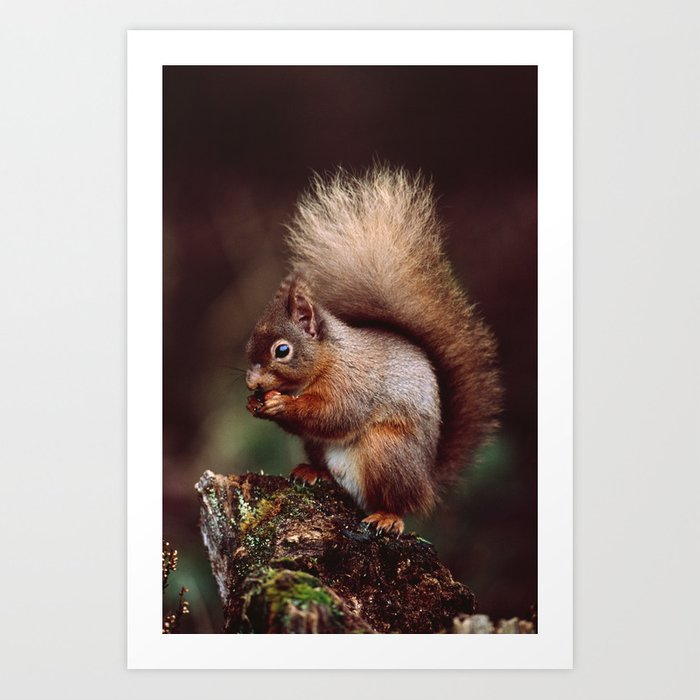 RED SQUIRREL. Art Print
