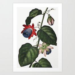 The Winged Passion-Flower illustration Art Print