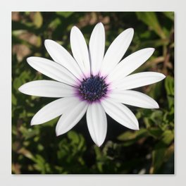 White African Daisy Canvas Print