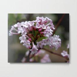Beautiful Spring Blossoms - Koreanspice Viburnum Metal Print