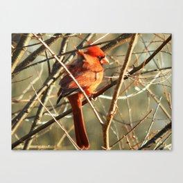 Windblown cardinal Canvas Print
