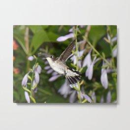 Hovering hummingbird with Hosta 38 Metal Print