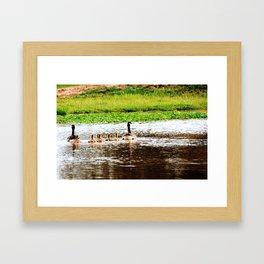 Canada Goose and Goslings II Framed Art Print