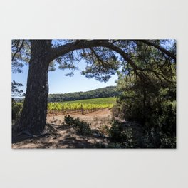 Vineyard of red grapes in a wood on the island of Porquerolles Canvas Print