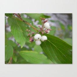 White Berries Canvas Print