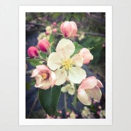beautiful apple blossom Art Print