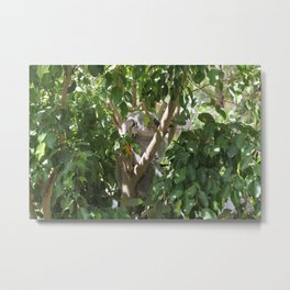 Koala climbing on eucalyptus tree Metal Print