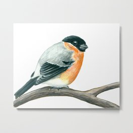Bullfinch bird Metal Print