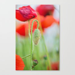 Tender shot of red poppies on the field over blue sky Canvas Print