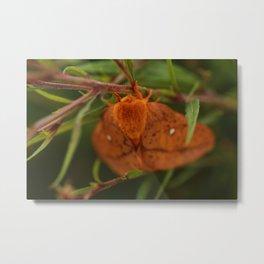 Orange-tipped Oakworm Moth Metal Print