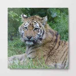 A watching tiger Metal Print