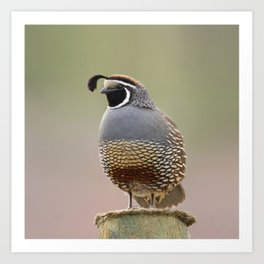 California Quail Art Print