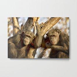Western Lowland Gorillas Metal Print