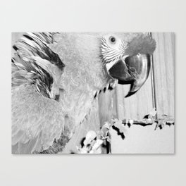 Parrots, birds, sanctuary, winged angels, animals, feathered friend, feathered companion, rescue Canvas Print