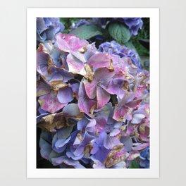 Hydrangea blue and purple Art Print