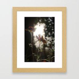 Daisy at sundown Framed Art Print