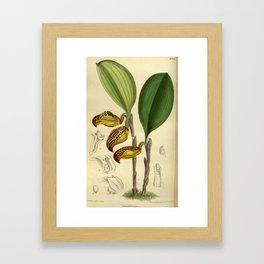 Cryptophoranthus dayanus (= Zootrophion dayanum), Orchidaceae Framed Art Print