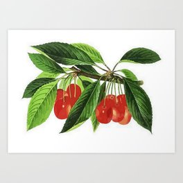 Red Cherries Vector on White Background Art Print