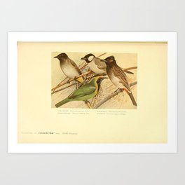 Black fronted Bulbul Golden fronted Leafbird otocompsa leucotis pycnonotus pygaeus17 Art Print