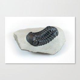 Phacops Trilobite Fossil Canvas Print