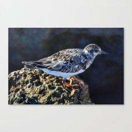 Watchful Sanderling Canvas Print