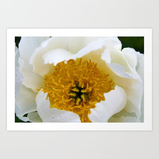 White French Poppy Art Print