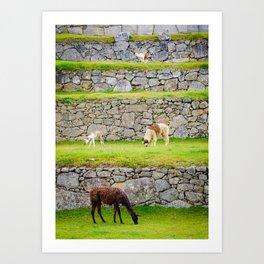 Llamas in Peru Art Print