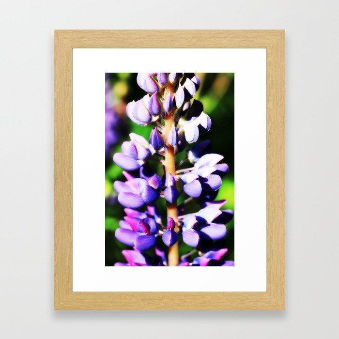 Lupine close up Framed Art Print