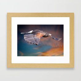 Harris Hawk in flight #2 Framed Art Print