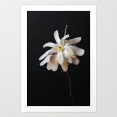 Star Magnolia Art Print